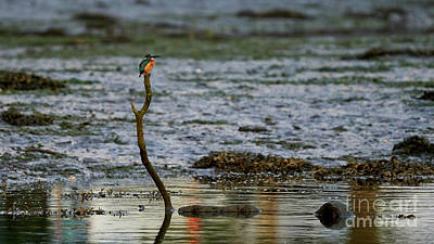 Open Impressionism California Desert Royalty Free Images - Common Kingfisher Alcedo Atthis O Seixo Royalty-Free Image by Pablo Avanzini