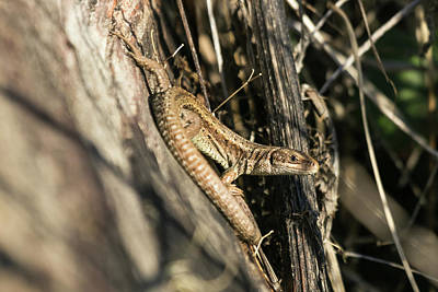 Photograph - Common Lizard by Wendy Cooper