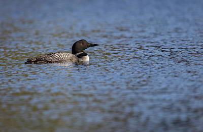 Photograph - Common Loon 2019-2 by Thomas Young