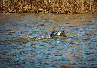 Photograph - Common Merganser  #i6 by Leif Sohlman