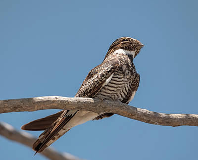 Photograph - Common Nighthawk Perched by Loree Johnson