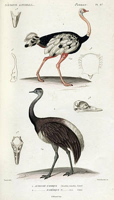 Ostrich Wall Art - Painting - Common Ostrich by Georges Cuvier
