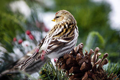 Photograph - Common Redpoll by Christina Rollo
