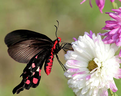 Insect Photograph - Common Rose Butterfly At Jawahar Kunj by Paldas Photography