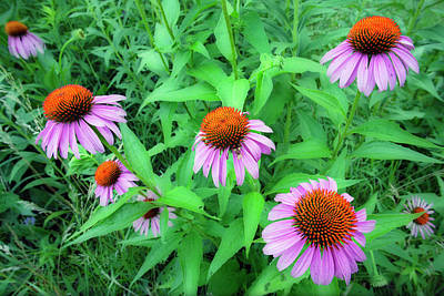 Botanical Photograph - Coneflower Echinacea Garden At The by Darwin Wiggett