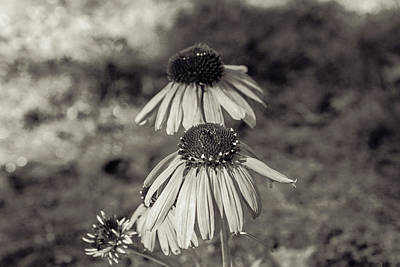 Photograph - Coneflower Ending It's Season - Atlanta Botanical Garden by Peter Ciro