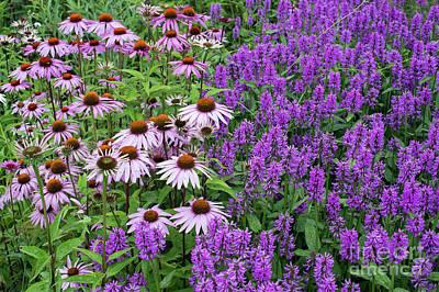Photograph - Coneflowers And Purple Betony Flowers by Tim Gainey