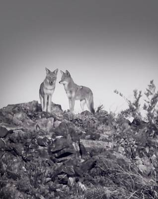 Photograph - Conferring Coyotes by Judy Kennedy