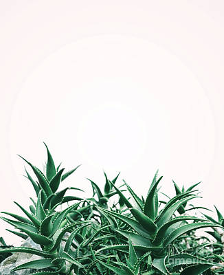 Photograph - Cool Minimal Nature Design With Aloe Vera Plant In Pastel And Gr by Jelena Jovanovic