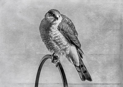 Photograph - Coopers Hawk by Cathy Kovarik