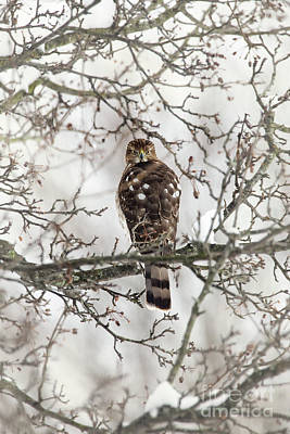 Photograph - Cooper's Hawk In A Snowy Tree by Sharon McConnell