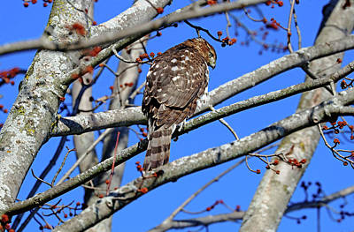 Amy Hamilton Animal Collage - Coopers Hawk In Fall by Debbie Oppermann