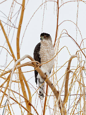 Birds Rights Managed Images - Coopers Hawk Royalty-Free Image by Mike Dawson
