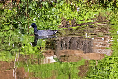 Photograph - Coot In Green by Kate Brown