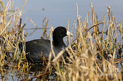 Photograph - Coot by Sue Harper