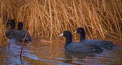 Flags On Faces Semmick Photo - Coots 2 by 2  by Theresa Peterson