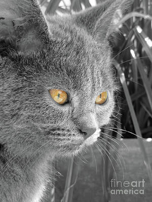 Chartreux Wall Art - Photograph - Copper Eyes by Elisabeth Lucas