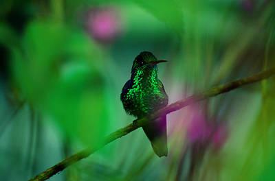 Trinidad And Tobago Wall Art - Photograph - Copper-rumped Hummingbird Amazilia by Art Wolfe