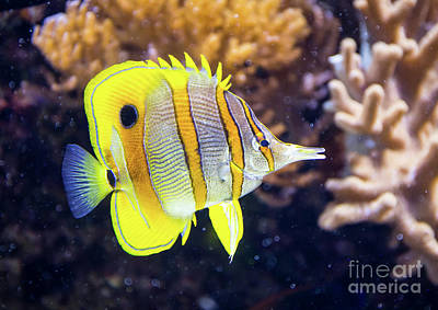 Photograph - Copperband Butterfly Fish by Kevin McCarthy