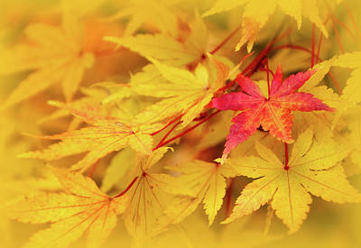 Photograph - Coral Bark Japanese Maple Leaves In Autumn by Carolyn Derstine