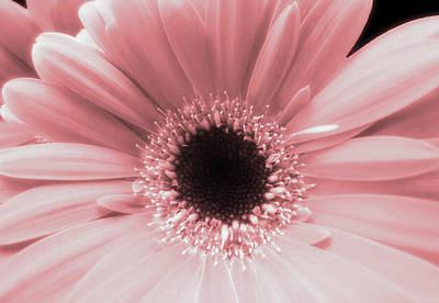 Photograph - Coral Gerbera Closeup by Johanna Hurmerinta