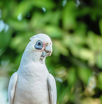 Photograph - Corellas Outside During The Afternoon. by Rob D