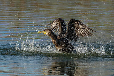 Photograph - Cormorant Bathing 0538-010719-1 by Tam Ryan
