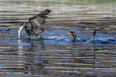 Photograph - Cormorants And Fish 5264-022619 by Tam Ryan