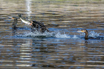 Photograph - Cormorants And Fish 5265-022619 by Tam Ryan