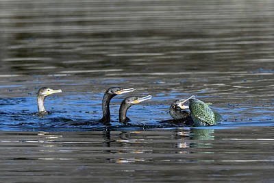Photograph - Cormorants And Large Fish 5276-022619-1 by Tam Ryan