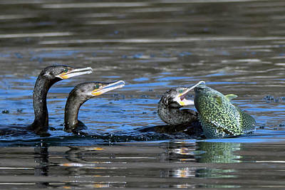 Photograph - Cormorants And Large Fish 5276-022619-2 by Tam Ryan