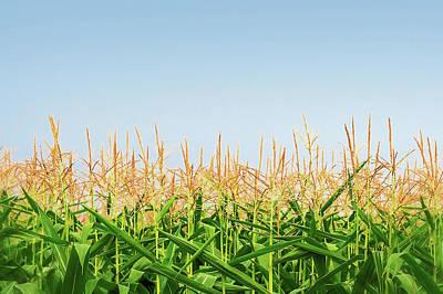 Photograph - Corn Tassels by Todd Klassy