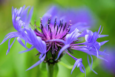 Photograph - Cornflower by David Taylor