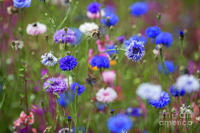 Photograph - Cornflower Meadow by Eva Lechner
