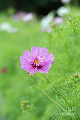 Photograph - Cosmos Bipinnatus Fizzy Pink by Tim Gainey