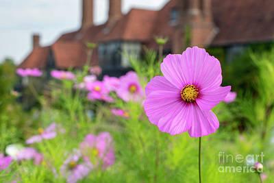 Photograph - Cosmos Bipinnatus Flowering At Rhs Wisley Gardens  by Tim Gainey