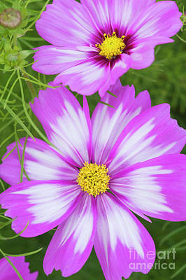 Photograph - Cosmos Capriola Flower by Tim Gainey