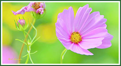Photograph - Cosmos Flower In Full Bloom, Bud by A Gurmankin