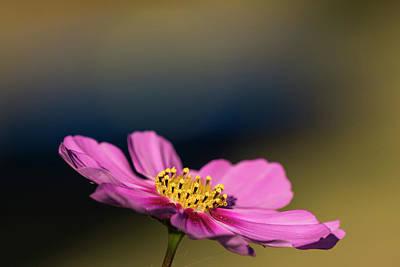 Photograph - Cosmos by Robert Potts