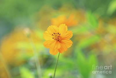 Photograph - Cosmos Sulphureus Cosmic Orange by Tim Gainey