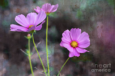 Photograph - Cosmos by Susan Warren
