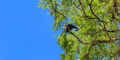 Royalty-Free and Rights-Managed Images - Costa Rica Capuchin Momma and Baby Aboard by Betsy Knapp