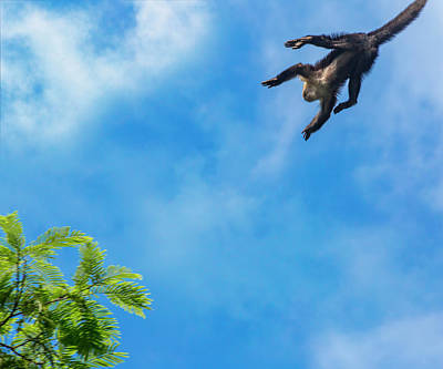 Royalty-Free and Rights-Managed Images - Costa Rica Leaping Capuchin Monkey by Betsy Knapp