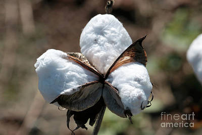 Photograph - Cotton Closeup by Carol Groenen