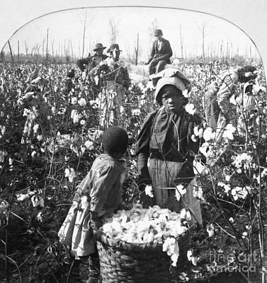 Photograph - Cotton Plantation by Granger