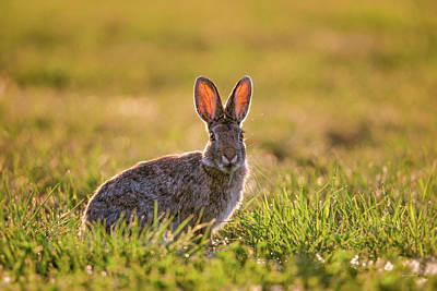 Photograph - Cotton Tail by Leland D Howard