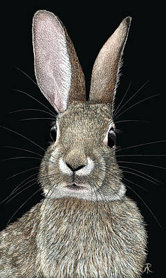 Drawing - Cottontail by Ann Ranlett
