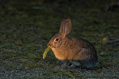 Photograph - Cottontail Rabbit And Leaf 2486-012219 by Tam Ryan