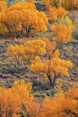 Photograph - Cottonwoods In Autumn by Dustin LeFevre
