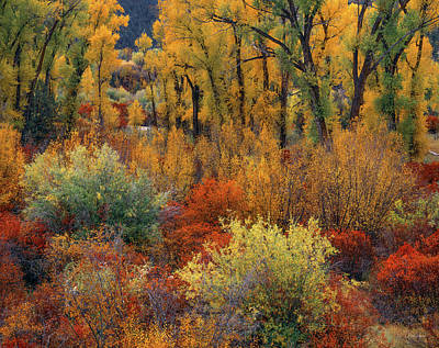Photograph - Cottonwoods by Leland D Howard